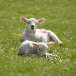 Lambs resting in the sunshine