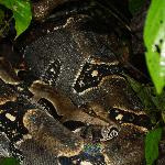 Boa Constrictor in Corcovado ( found by Nito, our guide )