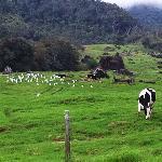 cow farm nearby