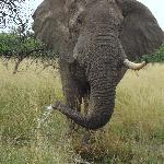 Beefy the gentle elephant
