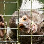 Mono brasileño