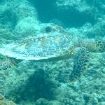 A Turtle on the house reef