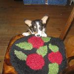 Lilly the Welsh Corgi Puppy