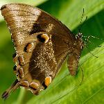Ulysses Butterfly