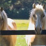 Complimentary Horseriding on our Haflinger Ponies