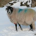 Our lovely village sheep