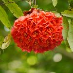 Flower in Peradeniya Gardens