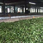 Tea leaves drying