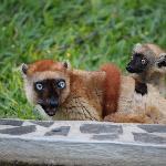 Lemuri nel parco dell'hotel