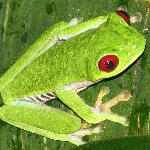 Famous red-eyed frog from our night hike