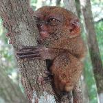 A Tarsier, smallest monkey living in the local forests.