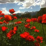 lovin the poppies at Golf n Tennis
