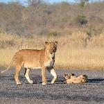 Mother and Male Cub