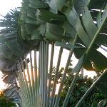 Fan palm right off our balcony