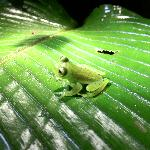 Night Hike - Glass Frog