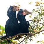 Resident Silver-cheeked Hornbills - don't be startled by their wake-up calls!