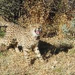 Cheetah feeding time