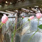 Roses in December at Stone Hedge B&B