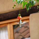 colibri (hummingbird) and abutilon
