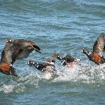 Harlequin ducks visiting Barnegat Inlet - visible from the lighthouse walk