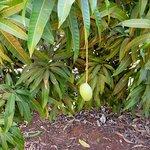 mango tree at 12 mile
