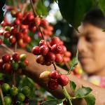 From our groves to your cup, fresh coffee from Antigua Guatemala