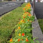 Rows of Nasturtiums