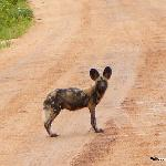 The painted dog, clever killers