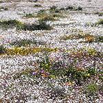 Goegap, Blumen wie Schnee