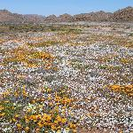 Goegap: Blumen bis zum Horizont