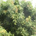 Mango tree on the property.
