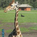 Auge um Auge mit den Giraffen