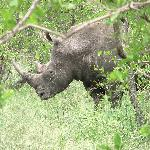 Rhino found on bushwalk