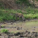 Hyena that visited us during morning coffee