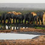 Thirsty Elephants
