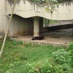 Pantera Negra no Zoo do CIGS