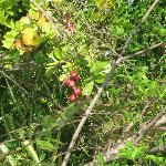 Ackee tree on the property