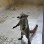 A little visitor - baby Coatimundi at our balcony door