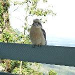 Visiting Kookaburra