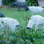 LQF - sheep