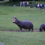 hippo friends