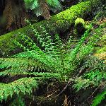 Moss covered logs and ferns dominate