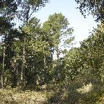 Monterey Pine forest