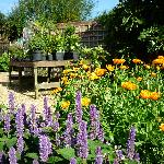 Calendula and Anise Hyssop in Sarah's Herb Garden