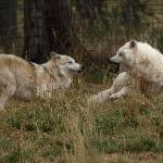 Wolves fighting for meal