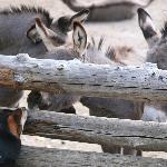 baby donkeys