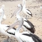 Pelican Feeding (Fabulous)