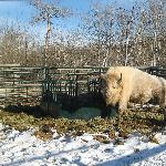 Teton; the only white buffalo in all of North America!  12/10/11