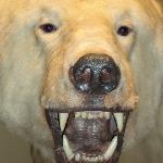 polar bear GRRRRRRR!