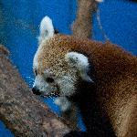 One of the red pandas on exhibit